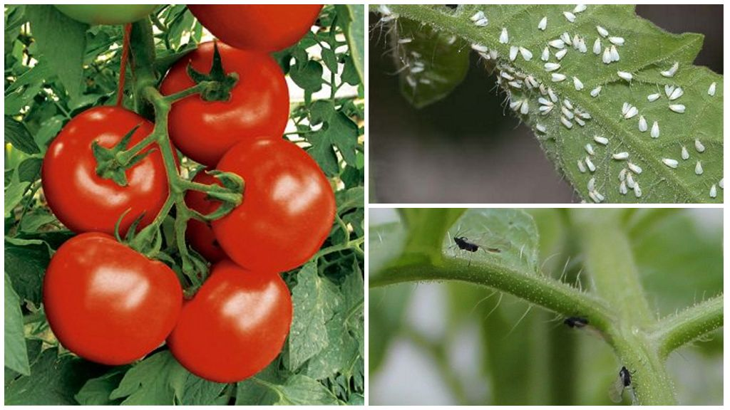 Как избавиться от черных мошек на помидорах