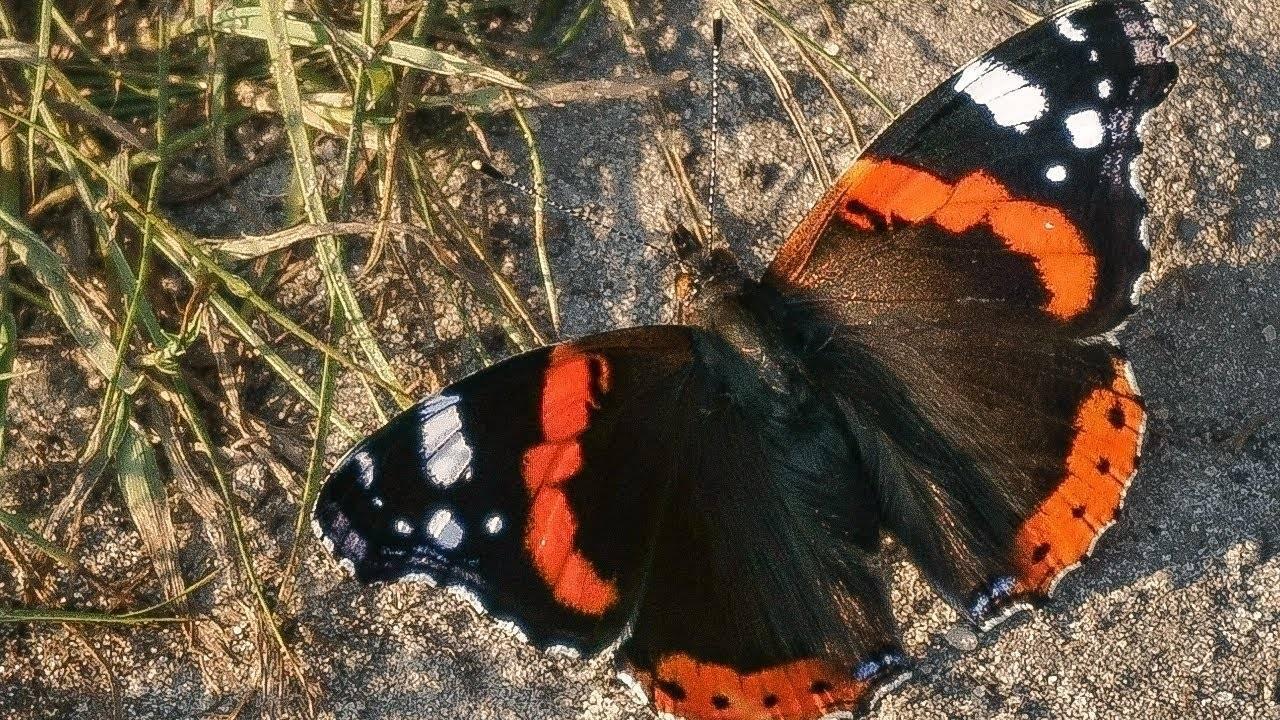 Бабочка адмирал – фото, описание, сколько и где живет, виды