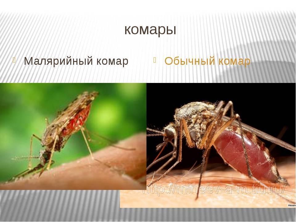 Первые признаки укусов малярийного комара, основные симптомы. что делать, если укусил малярийный комар