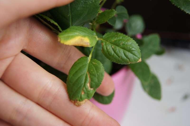 Как обнаружить и бороться с паутинным клещом на розах