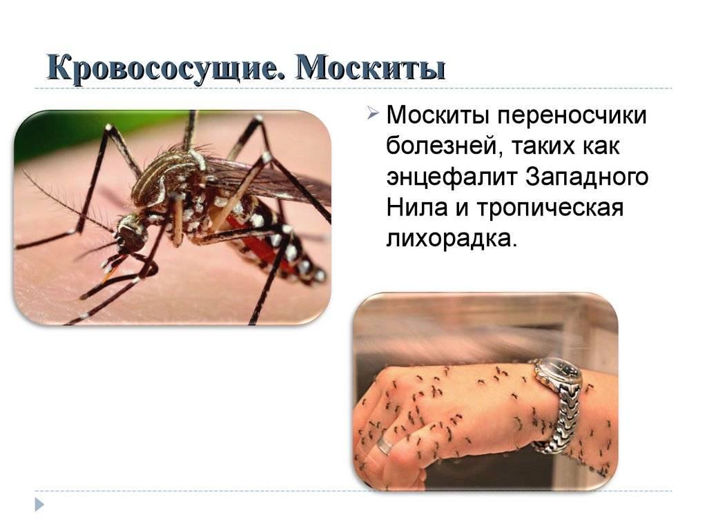 Чем отличаются москиты от комаров - медицина