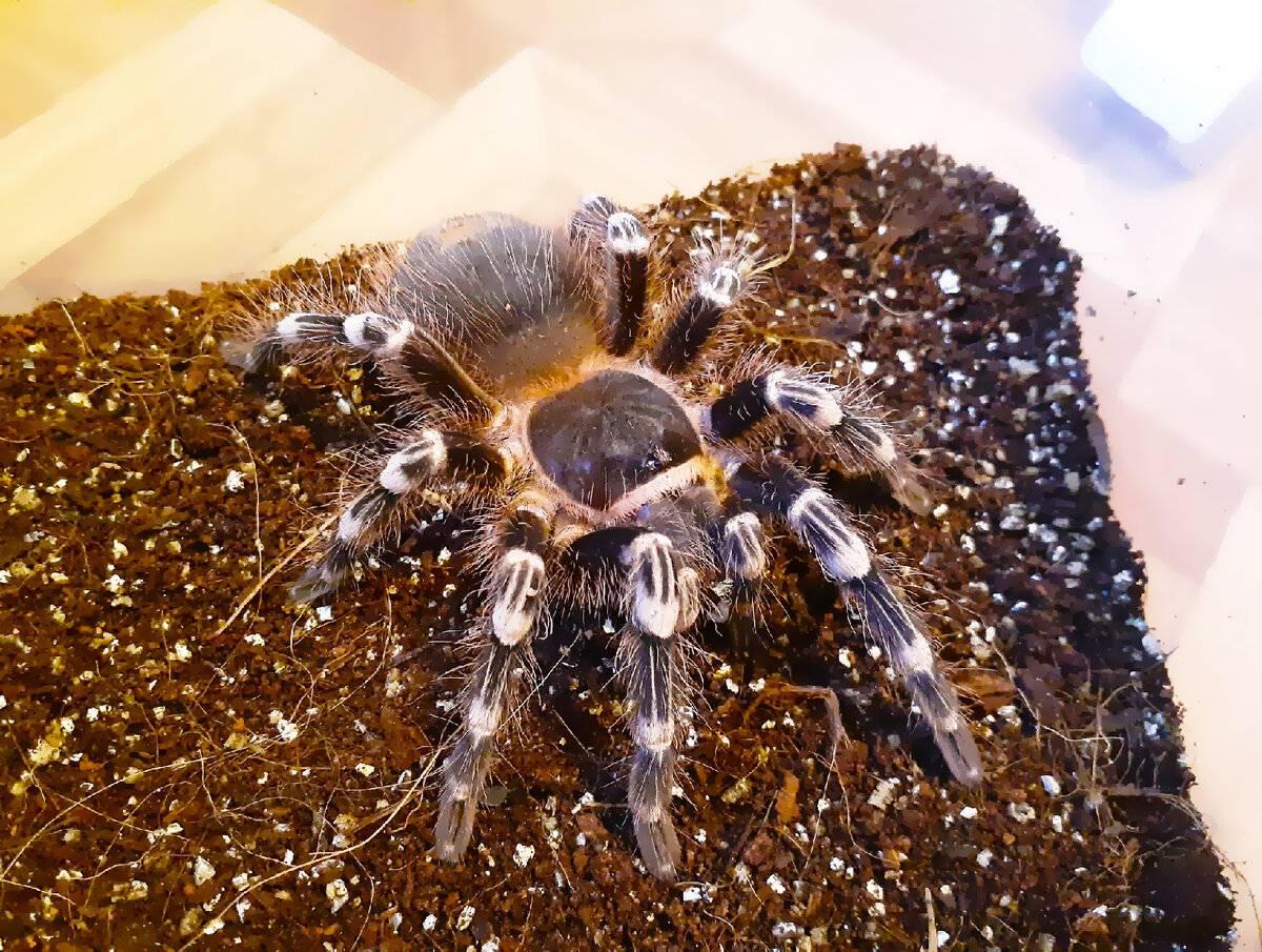 Домашний тарантул, содержание, питание, размножение