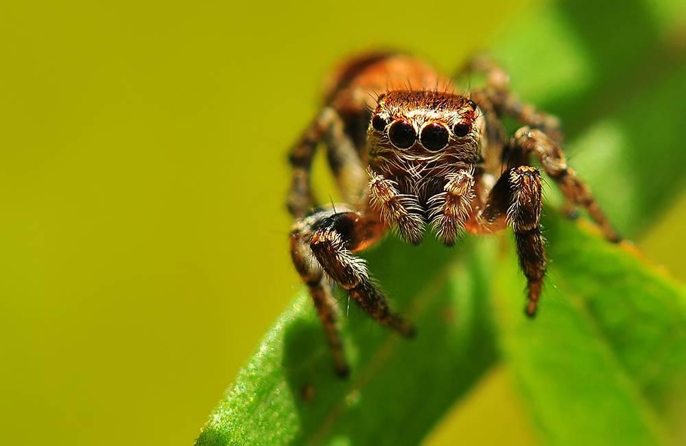 Паук-скакун – самый стремительный представитель своего семейства. кто такие пауки-скакуны и где они обитают опасен ли укус для здоровья человека
