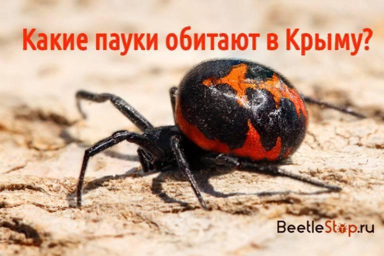 Пауки в крыму (31 фото): названия и описания самых опасных ядовитых пауков, черная вдова каракурт, виды самых крупных пауков