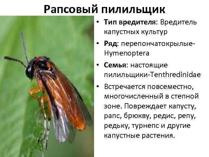 Рапсовый пилильщик – ложногусеницы на полях