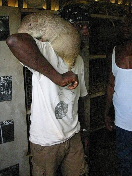 Самые большие крысы в мире: фотографии огромных представителей