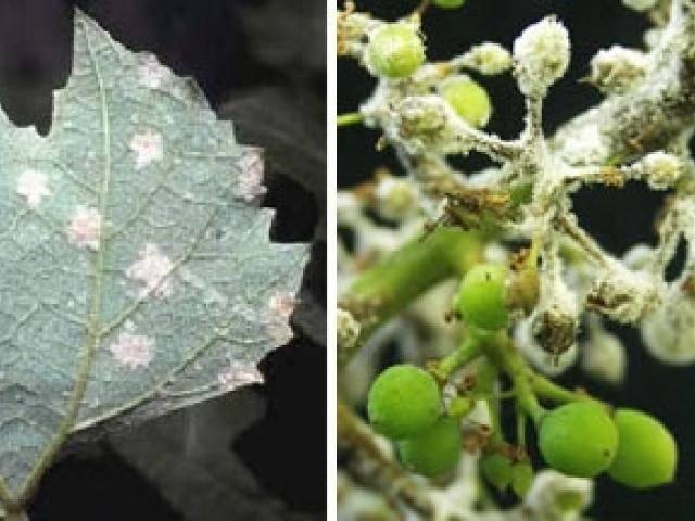 Чем обработать виноград от тли: народные средства и популярные препараты