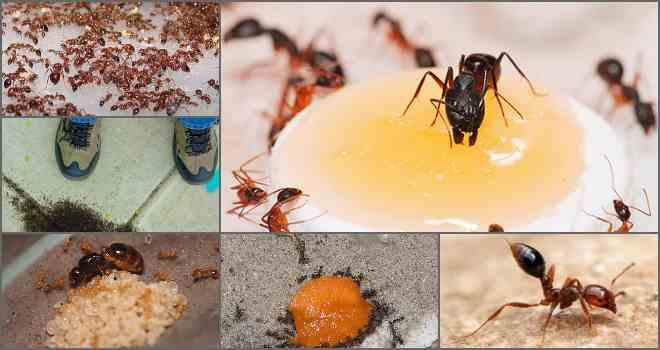 Рыжие (огенные, красные) муравьи в квартире или в огороде: как от них избавиться, какой вред наносят, окуда берутся