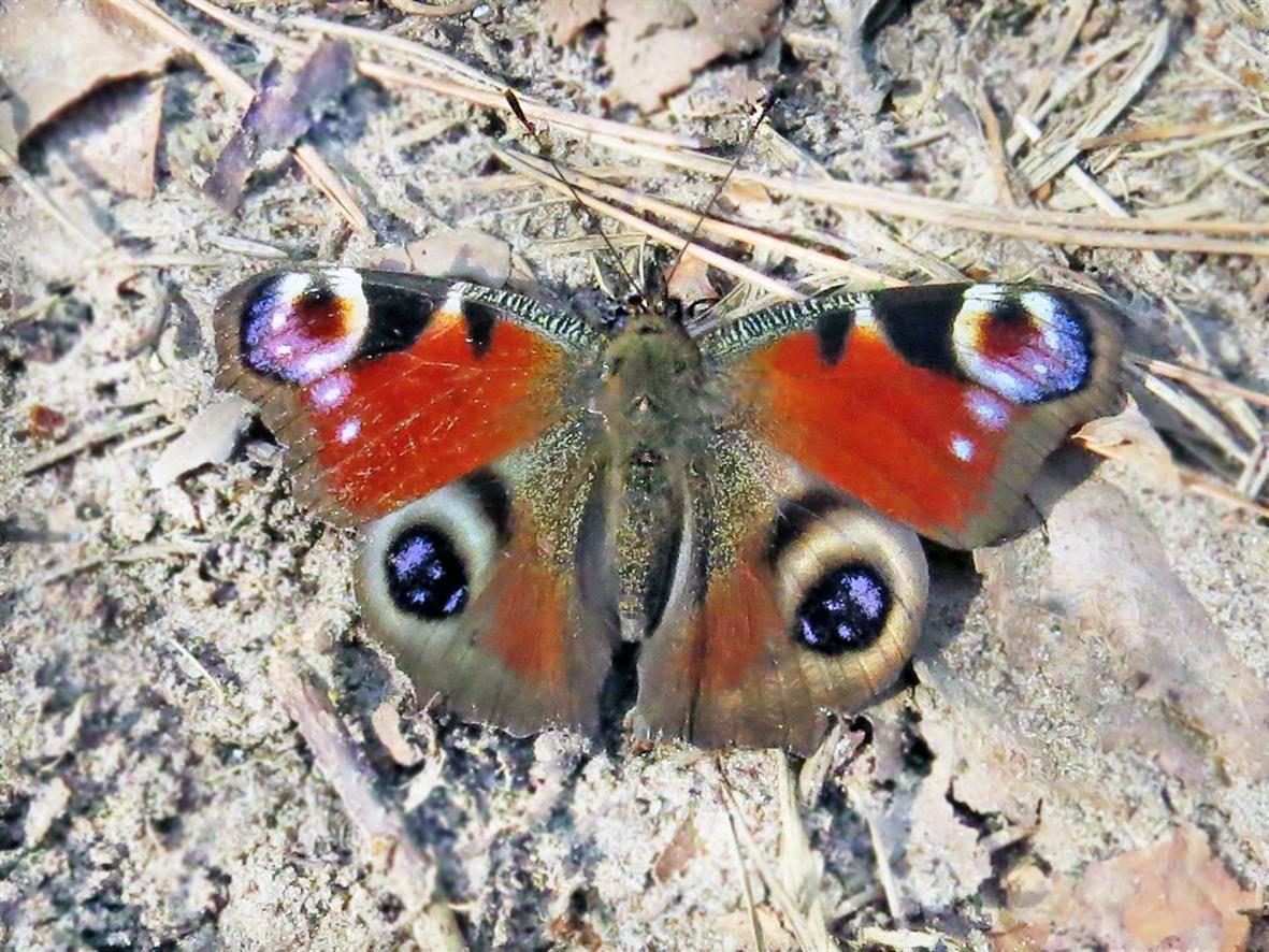 Бабочка павлиний глаз описание для детей сообщение-доклад