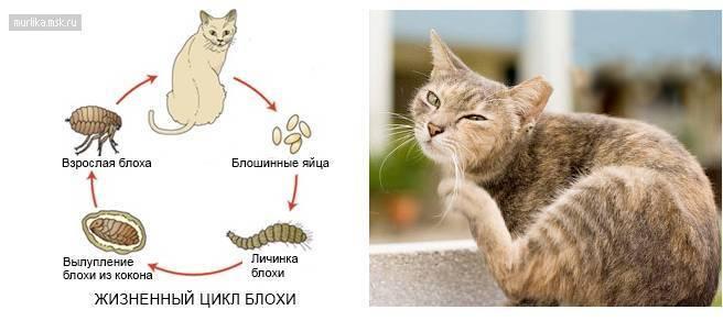 Как вывести и избавится от блох у кошки: препараты и народные средства