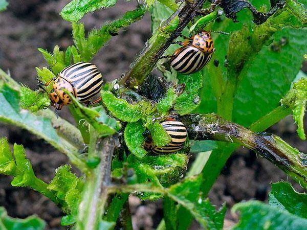 Описание колорадского жука и его жизнедеятельности