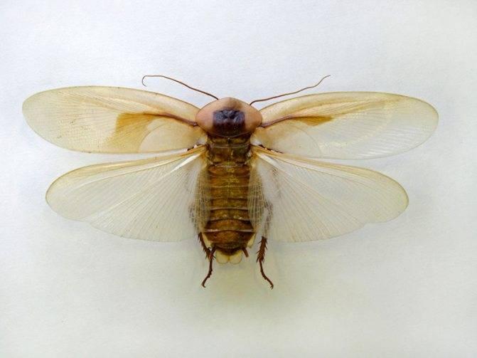 Умеют ли летать тараканы — подробный разбор - отделка