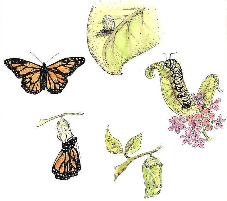 Как появляются бабочки: стадии развития - gkd.ru