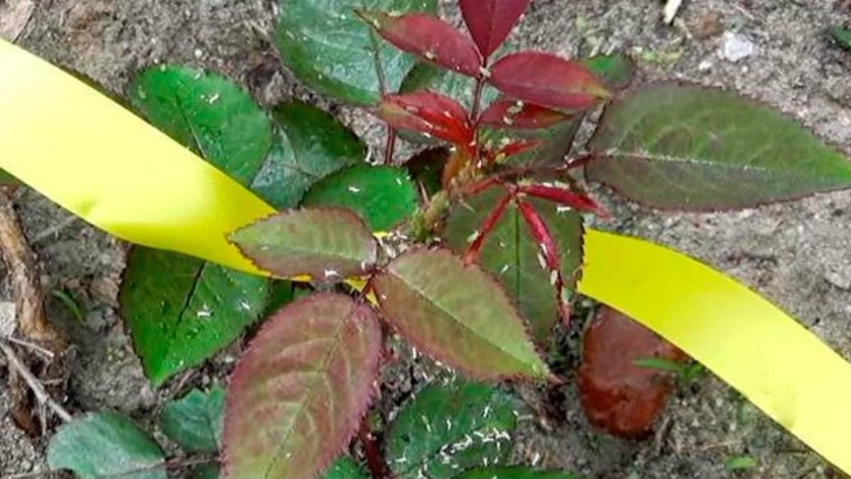 Как избавиться от тли на розах — лучшие способы и средства