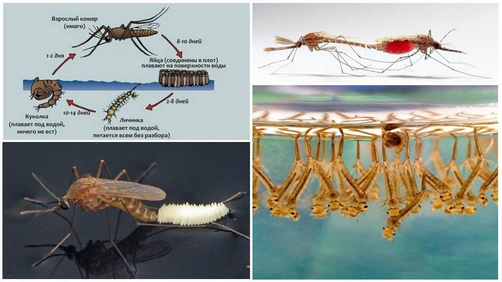 50 интересных фактов о комарах — общенет