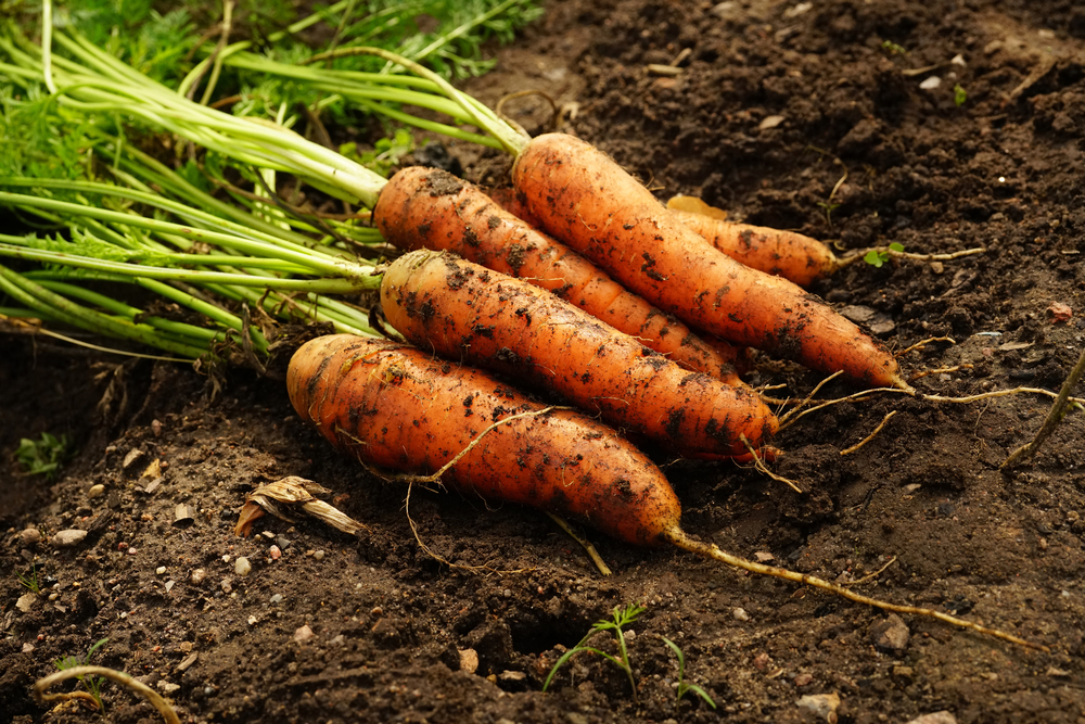 Как избавиться от морковной мухи: 100% эффективные методы борьбы