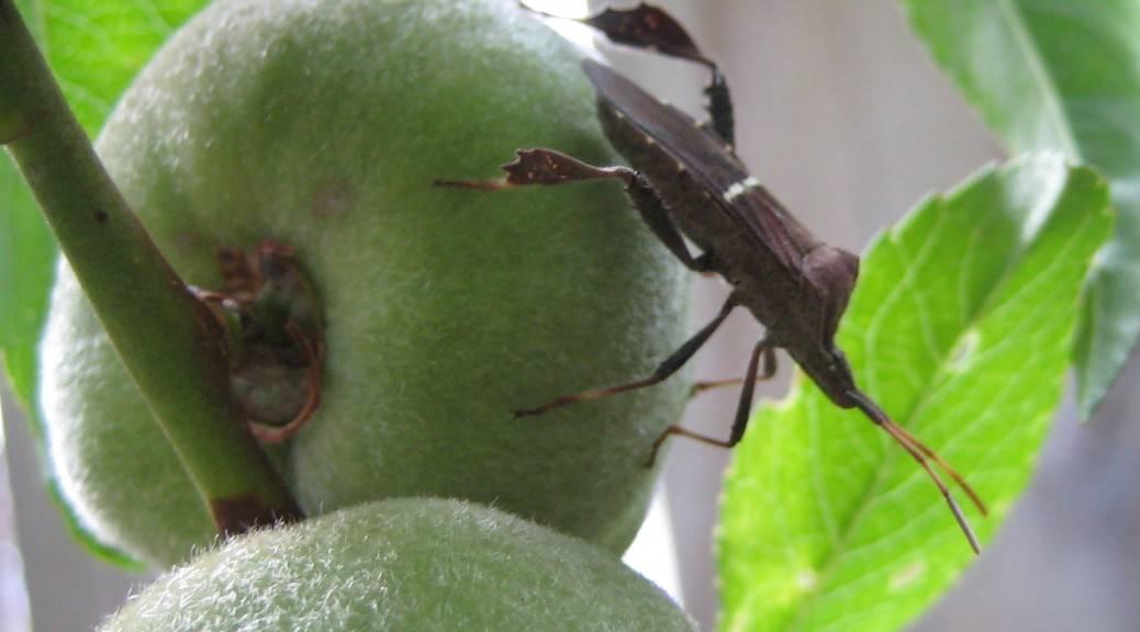 Тутовая щитовка – сосущий паразит на деревьях и кустарниках