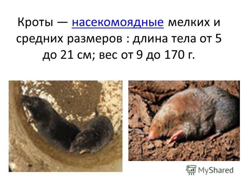 Что такое крот - описание жизнедеятельности, информация о видах животных