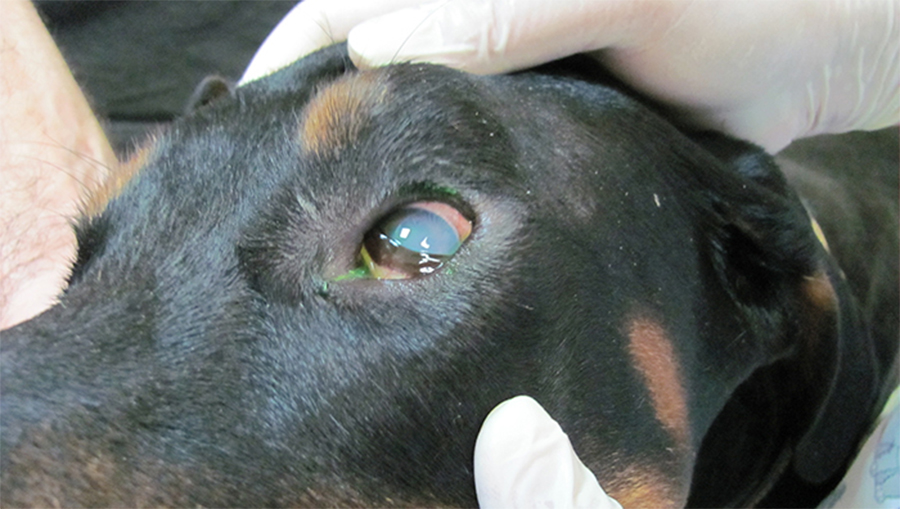 Эрлихиоз у собак и человека: причины возникновения