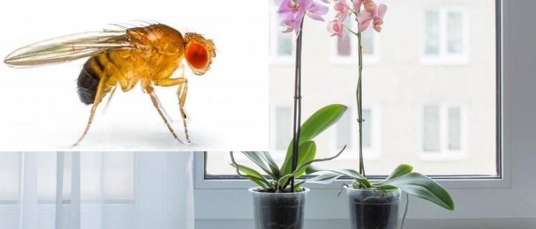 В орхидее завелись мошки: что делать в домашних условиях, как избавиться от них в горшке и почему появляются мелкие белые вредители, чем обработать, если их стало много