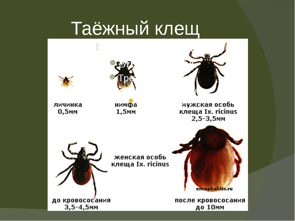 Таежный клещ: опасность укуса паразита для человека