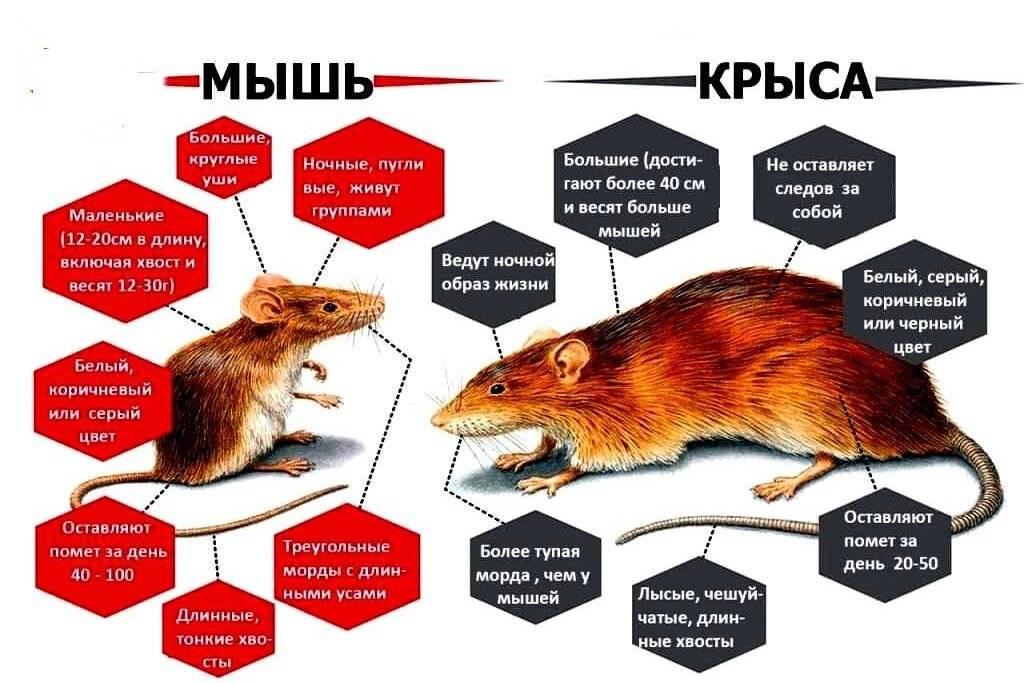 Чего боятся крысы — запахи, травы, масла
