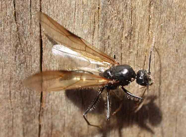 Муравьи с крыльями в доме — как избавиться?