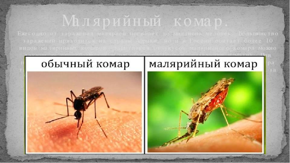 Малярийный комар – экскурсия в жизнь переносчика опасного заболевания