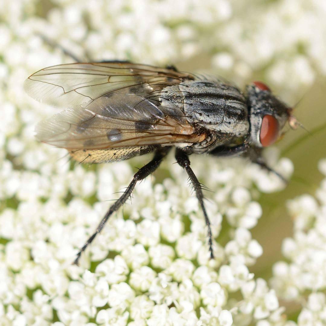 Болезнь вызванная личинками мух 4 буквы
