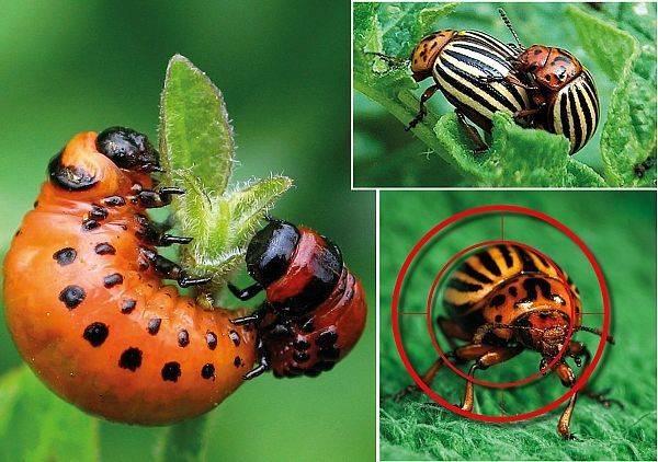 Горчица от колорадского жука на картошке: особенности использования