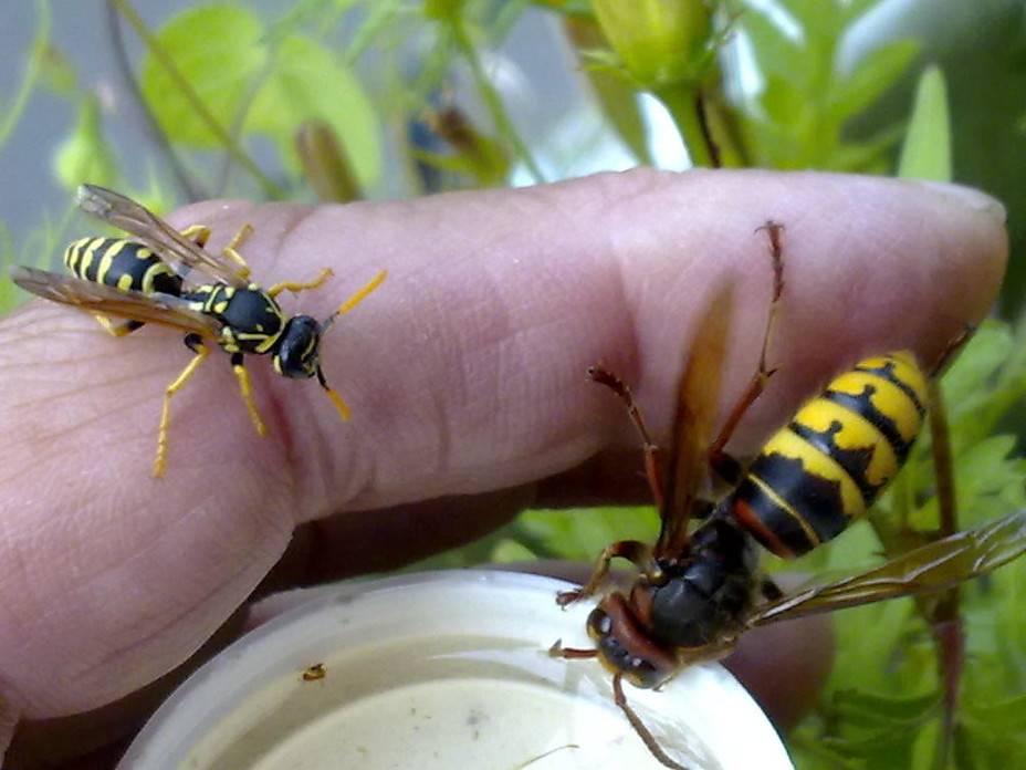 Как живет матка осы, какие функции выполняет оса-королева: ее отличия от королевы пчел, осиные и пчелиные ульи