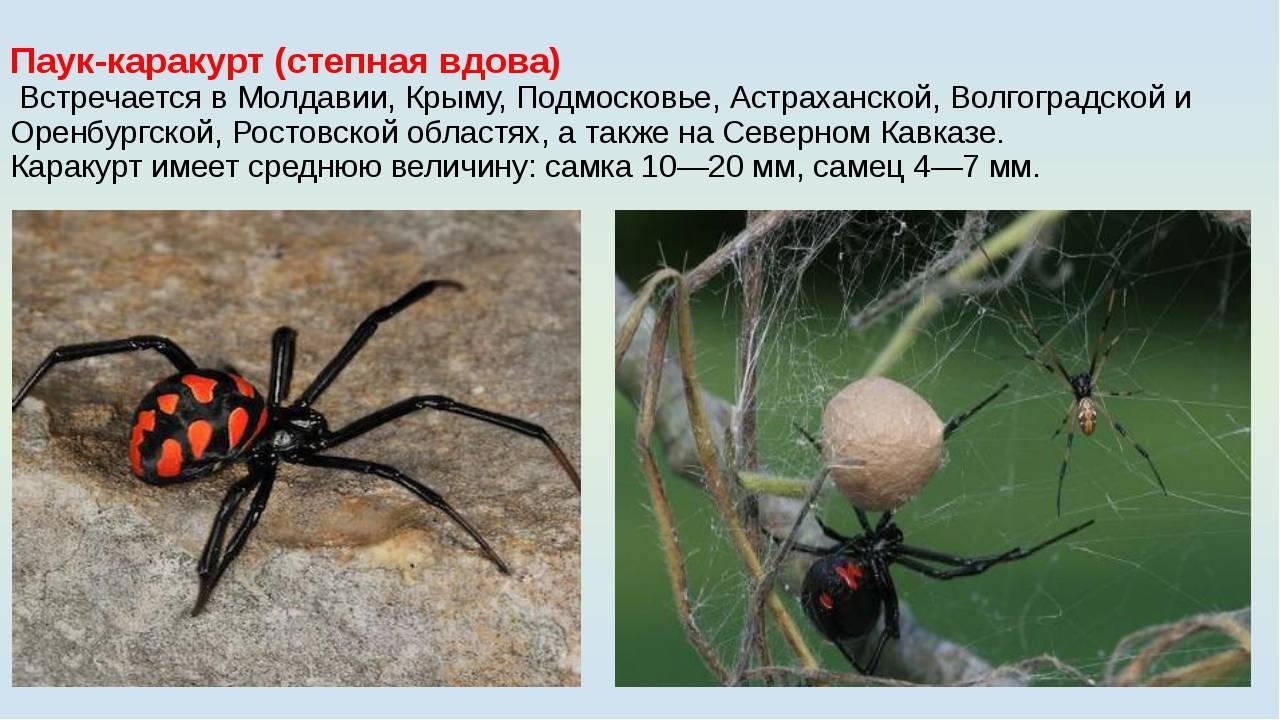 Где находятся ядовитые железы паука