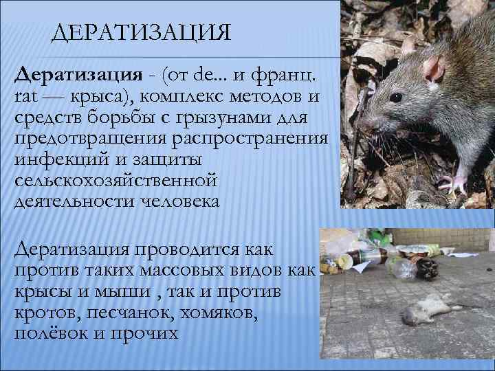 Как вывести крыс изкурятника без риска для птиц: народные методы, ультразвук, яды