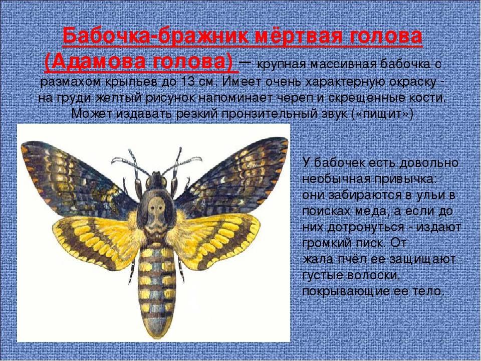 Бражник мертвая голова: факты и вымыслы про ужасную бабочку