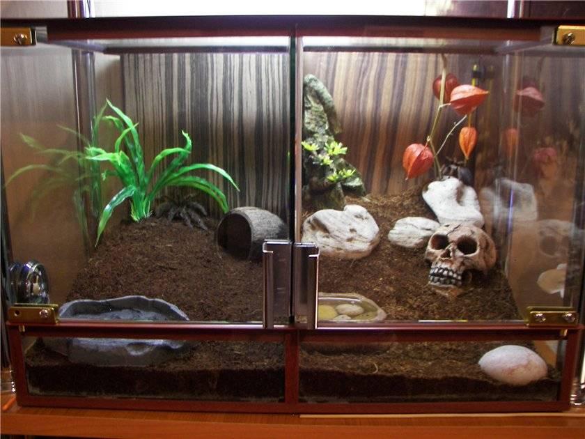 Паук-птицеед: особенности содержания в домашних условиях (с фото)