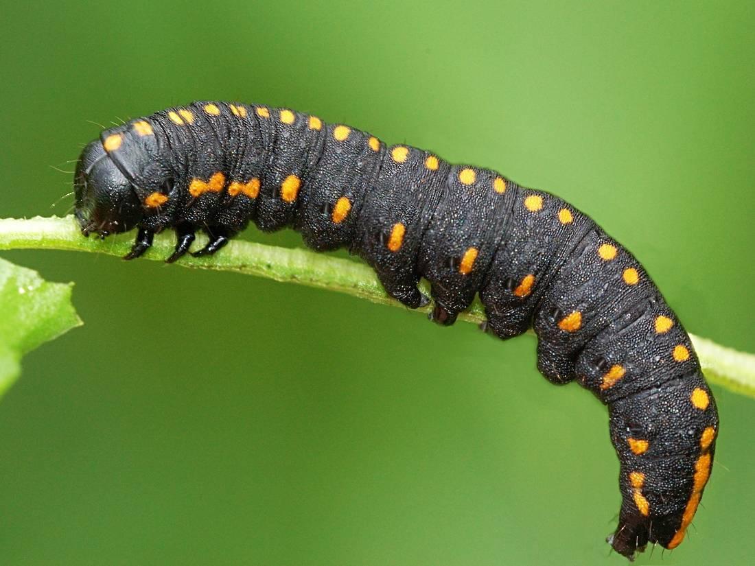 Гусеница – описание, виды, фото, ядовитые и неядовитые