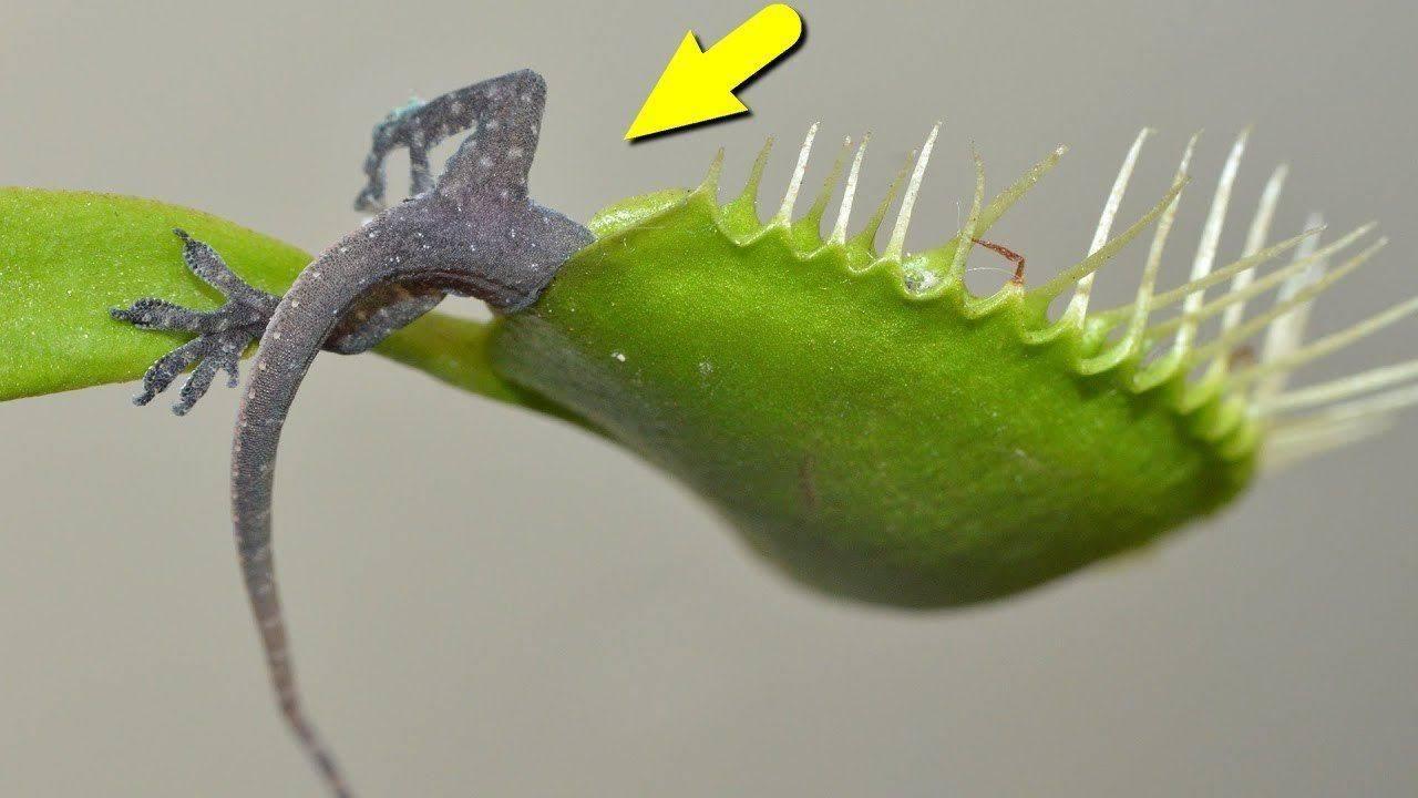 Цветок, который ест мух – его название, фото и описание