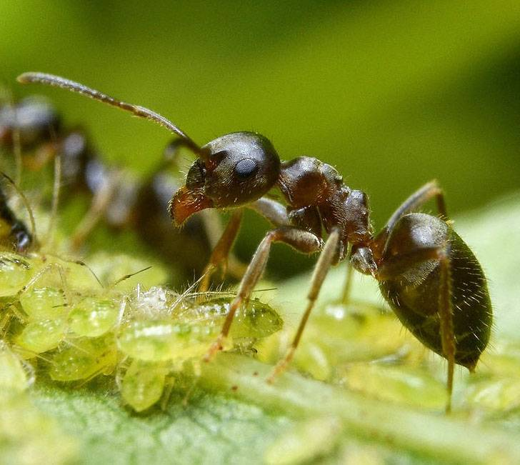 ✅ как избавиться от летающих муравьев в доме: методы борьбы с крылатыми насекомыми - tehnomir32.ru