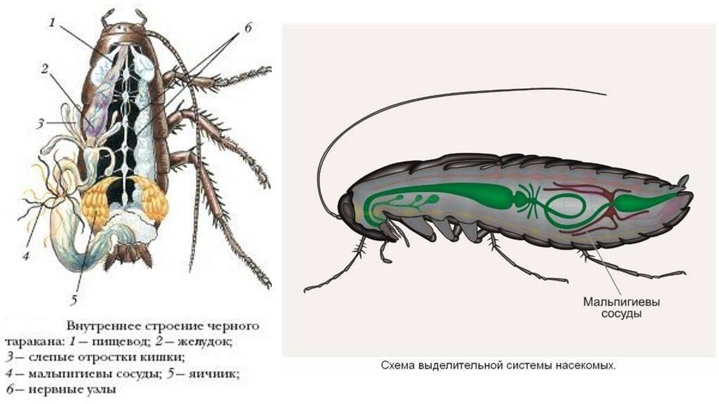 Строение чёрного таракана: ареал обитания, устройство пищеварительной системы насекомого
