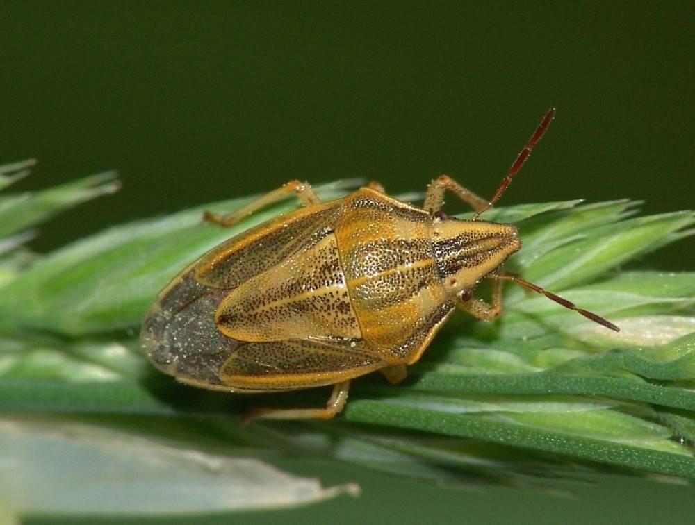 Как избавиться от хлебного точильщика: что за жук, чем опасен, как определить появление, меры профилактики, лучшие способы борьбы, обзор проверенных инсектицидов