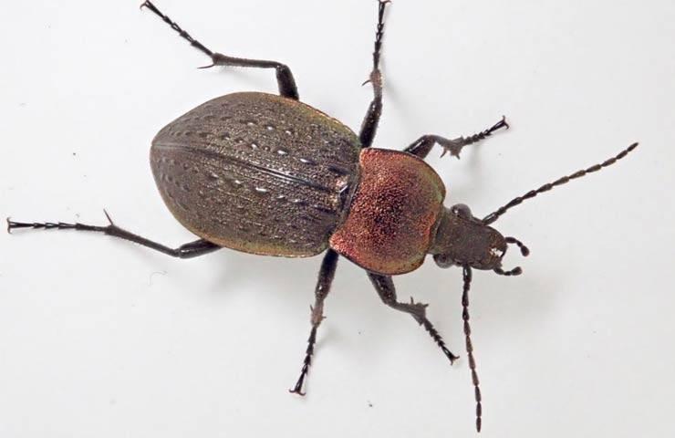 Жужелица насекомое. описание, особенности, виды, образ жизни и среда обитания жужелицы   живность.ру