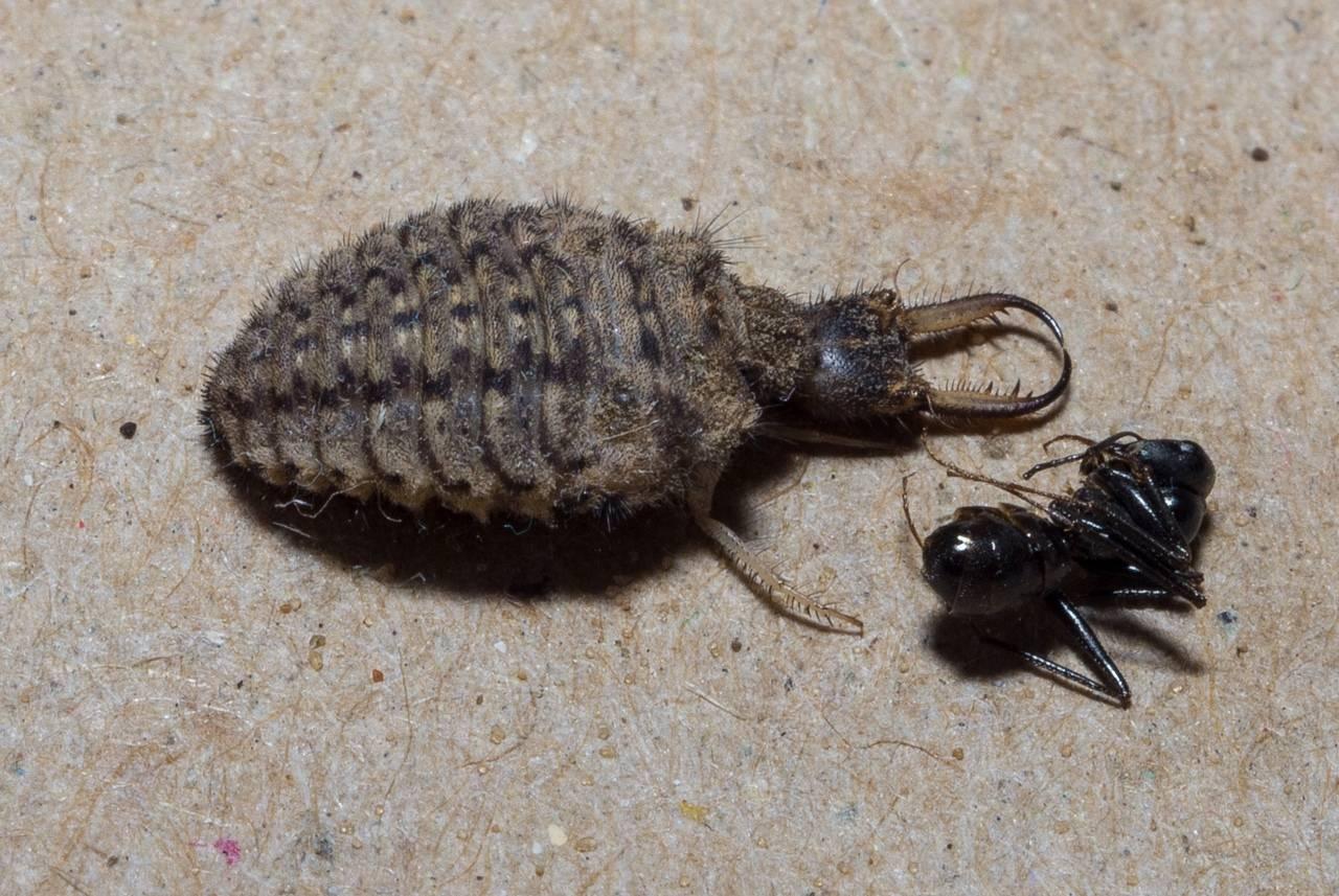 Самая большая муха в мире: невероятные размеры обычного насекомого