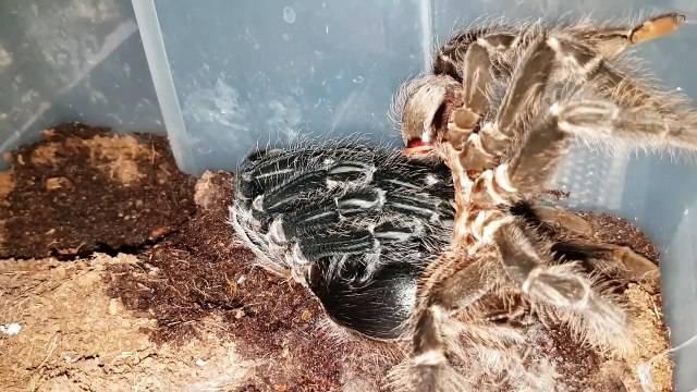 Как происходит линька паука-птицееда?