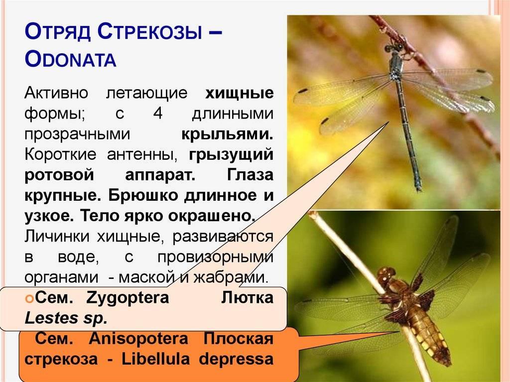 Четырехпятниятая стрекоза: характерные особенности внешнего вида и ареал распространения вида