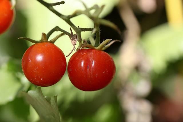 Эффективные методы борьбы с белокрылкой на помидорах в теплице
