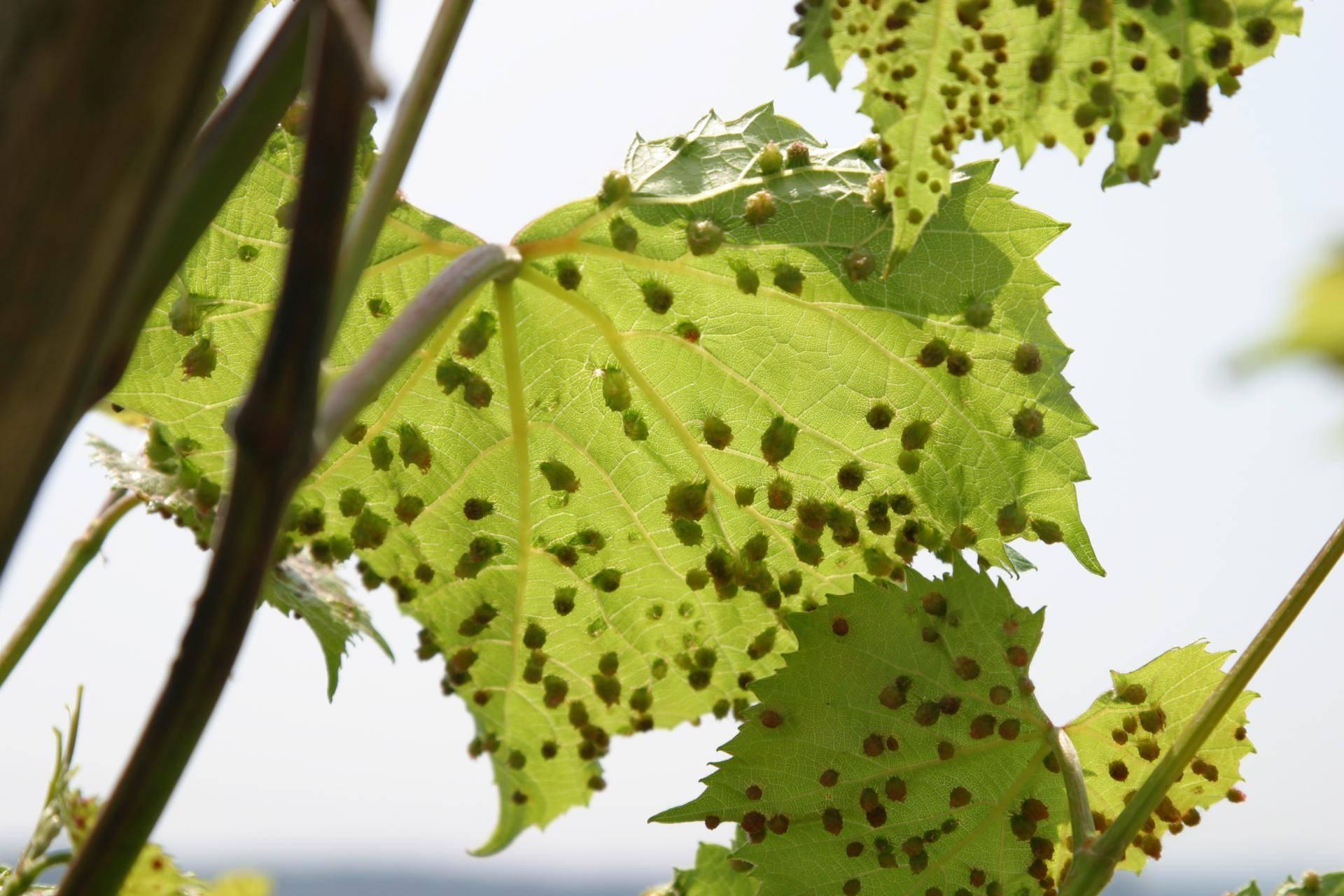 Филлоксера виноградная: методы борьбы, причины