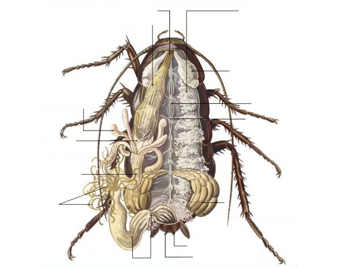 Сколько ног у таракана, строение таракана