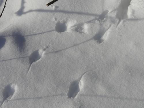 Следы рыси на снегу: как выглядят и о чем могут рассказать?