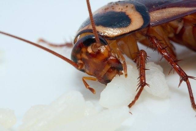 Кусают ли тараканы людей, укусы тараканов на фото