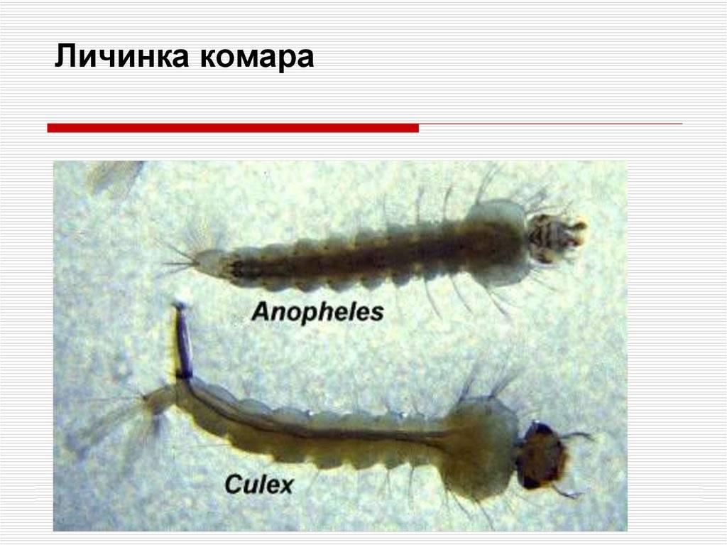 Яйца и личинки комаров: кое-что о жизненном цикле насекомых